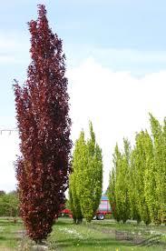 fagus sylvatica fagus sylvatica u0027dawyck purple u0027 pflanzen null bruns site