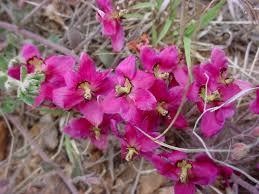 vascular plants of the gila wilderness vascular plants of the gila wilderness krameria lanceolata