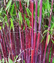bambus fã r den balkon roter bambus außenbereich garden