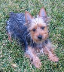 silky terrier with haircut australian silky terrier breed information history health