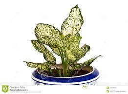 aglaonema aglaonema plant in pot stock images image 27360004