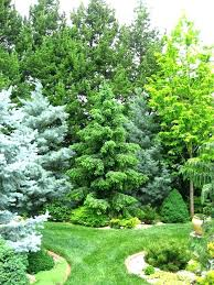 ornamental evergreen trees for small gardens conifers evergreen