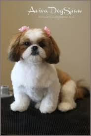 shih poo haircuts shih tzu cute haircuts google search for the pups pinterest