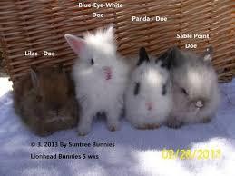 lion heads for sale purebred lionheads miniature lops lops bunnies