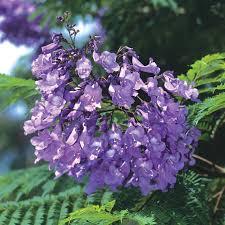 native san diego plants jacaranda san diego zoo animals u0026 plants