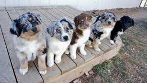 triple h australian shepherds puppies avid aussies