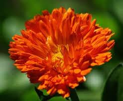 Calendula Flowers Herbs For Skin Hair U0026 Nails Calendula U0026 All Purpose Healing Salve