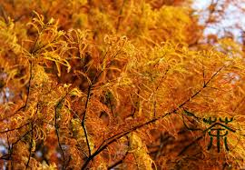large deciduous tree taxodium distichum seeds 180pcs ornamental