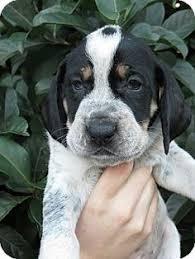 bluetick coonhound lab mix puppies for sale lexington va f bluetick named reesa rockbridge spca https