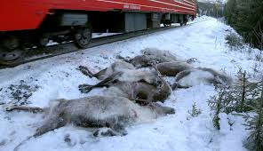106 norwegian reindeer killed by freight trains in 3 days u2013 the
