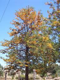 native plants brisbane grevillea robusta silky oak gardens pinterest fruit trees