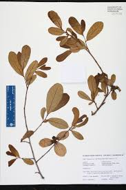 asimina obovata species page isb atlas of florida plants