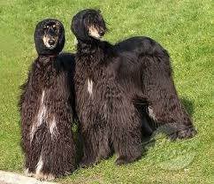 afghan hound king of dogs the 107 best images about ancient afghan hound on pinterest