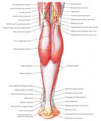 Knee Compartments Anatomy Leg Anatomy Muscle Images Learn Human Anatomy Image