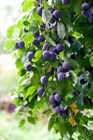 plum tree in overgrown garden small grip vertical shot stock