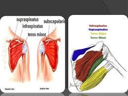 Subscapularis And Supraspinatus Pectoral U0026 Scapular Regions 128 01 Before We Start شيت Vs كتاب