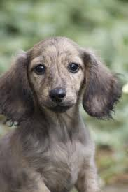 1355 best dachshund images on pinterest weenie dogs dachshunds