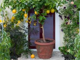 Large Planters For Trees by Container Gardening 9 Fruit Plants For Pots Hgtv