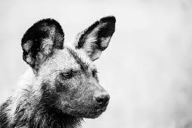 safari ltd african wild dog photo portrait the african wild dog fascinating africa