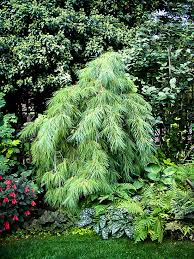 white pine tree white weeping pine for sale the tree center