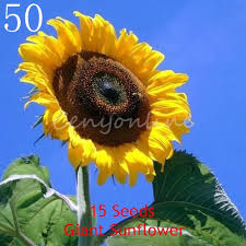 multifarious ornamental grow up flower plants seeds garden for