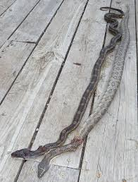 Found A Snake In My Backyard Snakes In The Coop Mcmurray Hatchery Blog