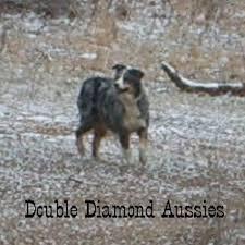 south florida australian shepherd double diamond aussies australian shepherd dog breeder in lecanto