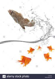 big fish escaping from a group of small goldfish stock photo