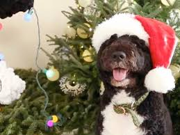 welsh corgi is california u0027s new top dog today com