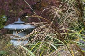 gardening ornamental grass to the rescue lewis ginter botanical