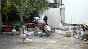 big pic vietnam pigeon loft 07 2012 1 youtube