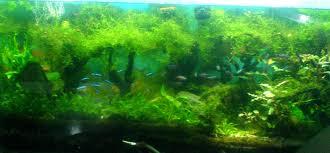 Java Moss Aquascape Membuat Pohon Sederhana Dengan Moss Simple Aquascape