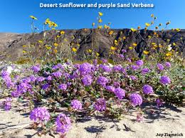 anza borrego desert flowers borrego springs chamber and visitor s bureau activities