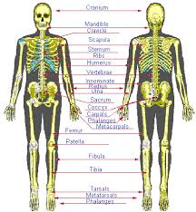 Anatomy Of The Human Body Bones Print Anatomy U0026 Physiology Skin U0026 Skeletal System Flashcards