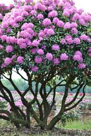 prune rhododendron into an ornamental tree gardening