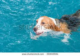 young beagle dog playing toy swimming stock photo 394333534