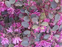arbuste feuillage pourpre persistant loropetalum planter et cultiver u2013 ooreka