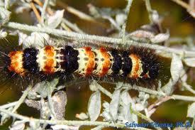 El Paso Texas Flag Lepidoptera Erebidae Dysschema Howardi Northern Giant Flag Moth