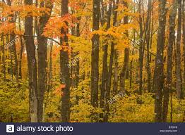 michigan fall color hardwood forest upper
