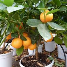 calamandino seed laimund s l ornamental plants and fruit and