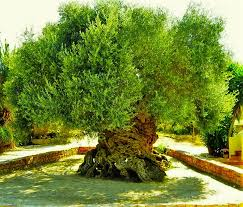 3 000 year olive tree on the island of crete still produces