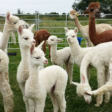 Alpaca Sheep Meme - awesome 22 alpaca sheep meme testing testing