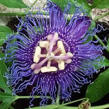 Rainforest Passion Flower - passion fruit oil maracuja oil 100 pure unrefined from brazil