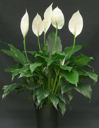 peace lilly buy peace plant spathiphyllum online at best prices in