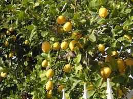 meyers lemons that bloomin u0027 garden
