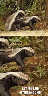 Honey Badger Memes - despite popular beliefe honey badgers do infact give a fuck by