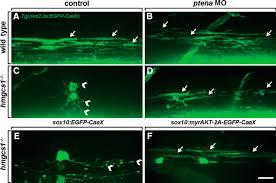 cholesterol biosynthesis supports myelin gene expression and axon