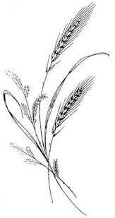 drawings of wheat stalks black and white drawing of two stalks
