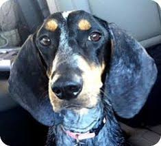 bluetick coonhound florida i found paxton on long haired chihuahua