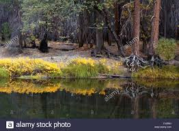 Native Plants Flush Yellow During Autumn Along The Merced River In